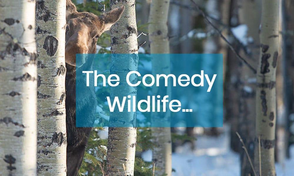 The comedy wildlife. Pourquoi les animaux nous amusent ?